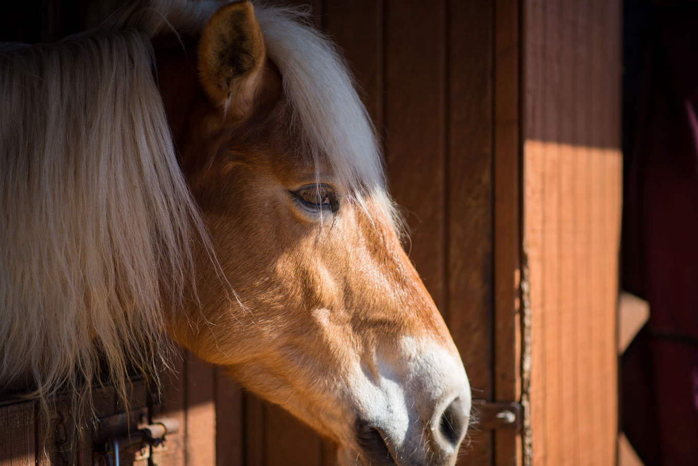 blonde horse in stall