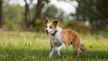 Border collie running in grass