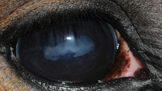 Corneal disease caused by steroid use and iridal damage due to ERU; horses that develop corneal disease from ERU pose further medical treatment challenges.