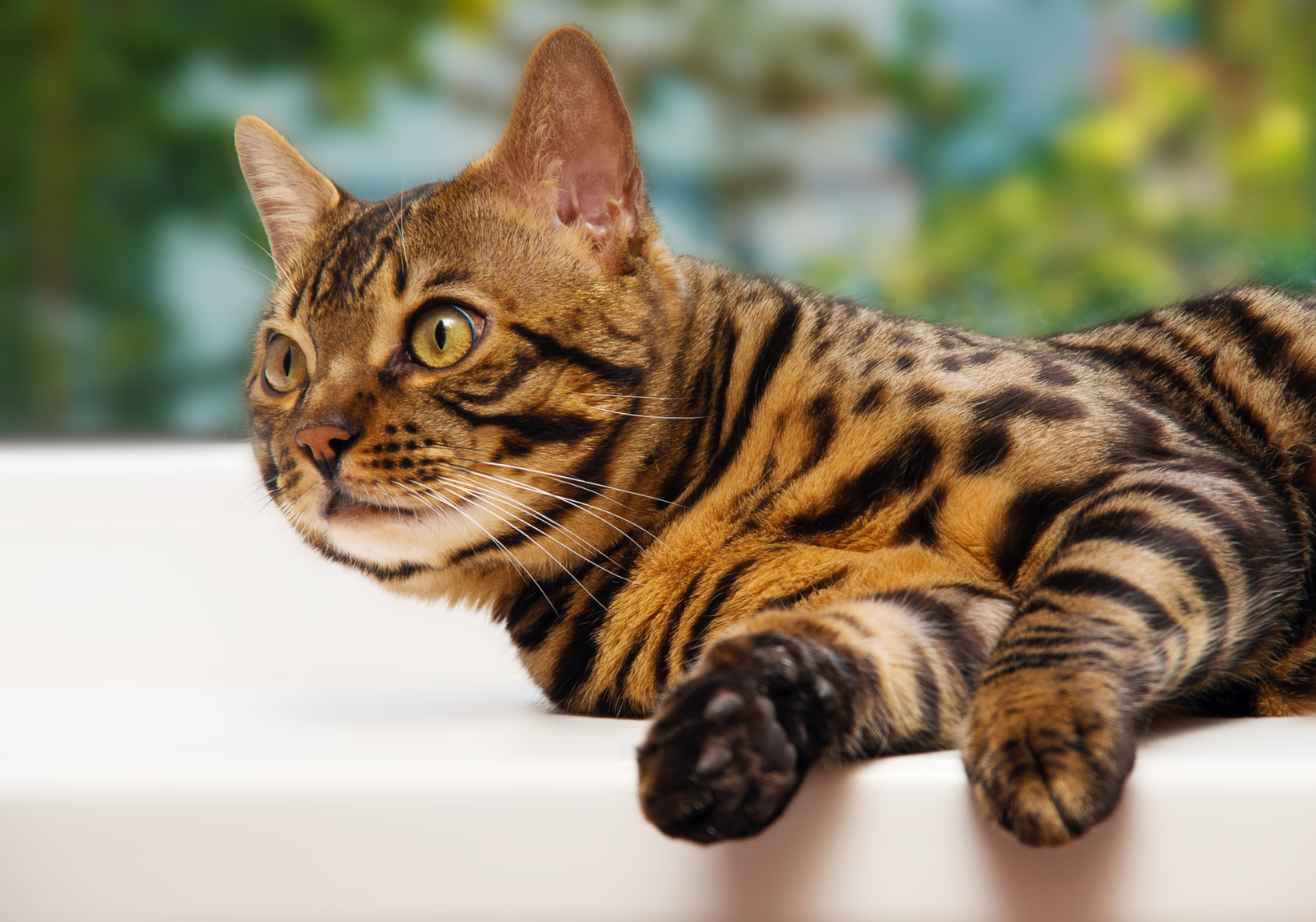 Bengal cat looking away