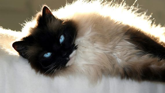 ragdoll cat lying on a blanket
