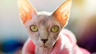 Sphynx Cat in Sweater