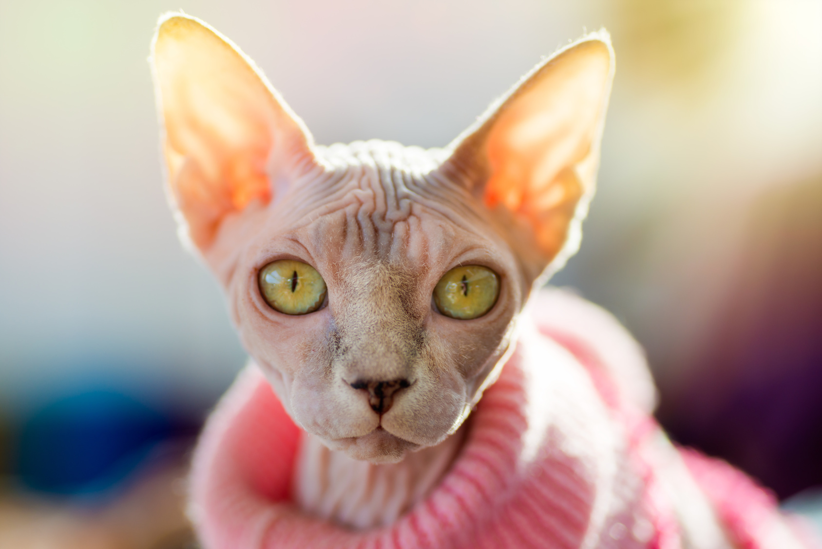 Animals: Sphynx cat wearing pink pullover, sun shining through the ears, sunlight effect added, close-up shot, blurred background