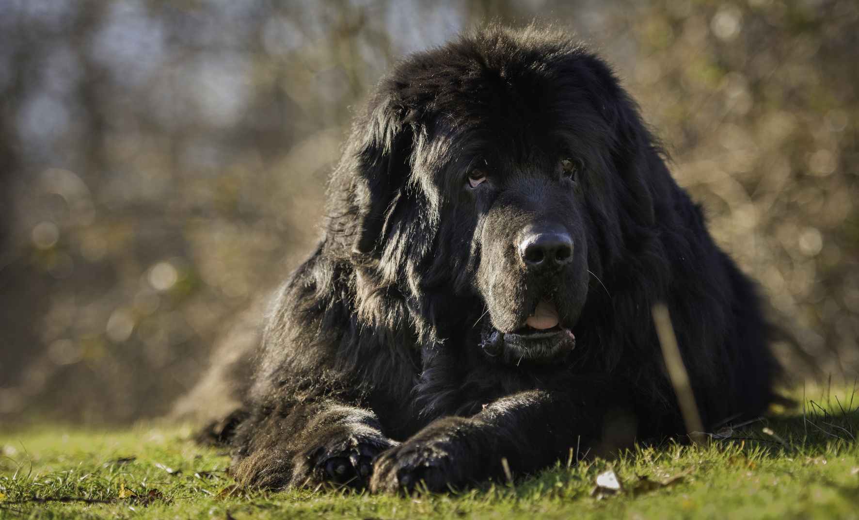 Newfoundland dog lying on ground
