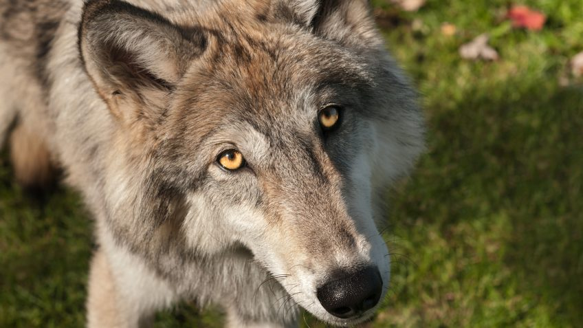 Grey Wolves (Canis lupus) Looks Up at Viewer - captive animal