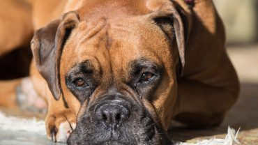 boxer dog laying down