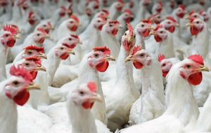 a group of white chickens