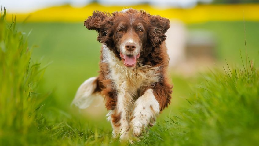Springer spaniel dog jumping over green grass