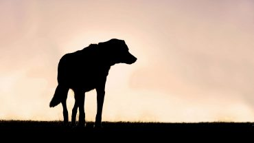 Silhouette of Poised German Shepherd Mix Dog