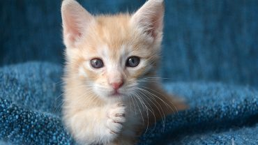 Cute orange tabby kitten with paw up, looking