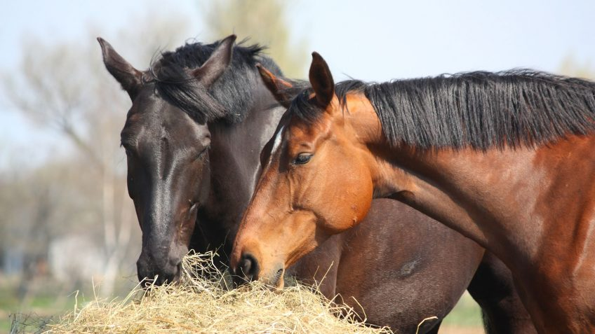 Two-horses-eating