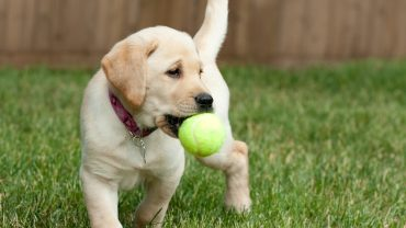 Yellow Lab Puppy Playing with a Tennis Ball