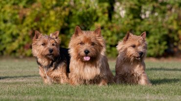 Three nice norwich terrier