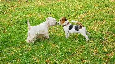 white west dog and Jack Russell terrier are walking together in sunny summer day outdoors