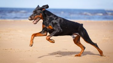 Doberman pinscher sitting in the field