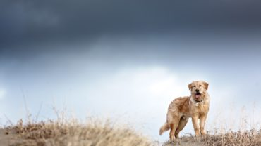 Golden Retriever standing on sand dune
