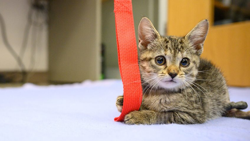 Frankenstein kitten playing with red string