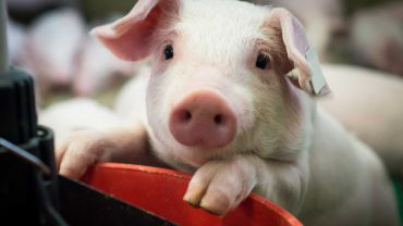 Cute piglet leans over the back of a chair
