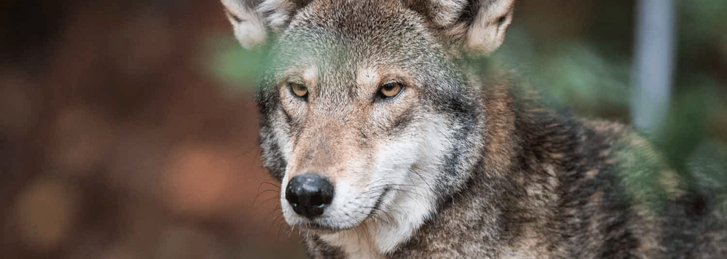 DURHAM, NC - NOVEMBER 9: A Red Wolf is seen at the North Carolina Museum of Life + Science on Thursday, November 8, 2017, in Durham, NC. (Photo by Salwan Georges/The Washington Post via Getty Images)