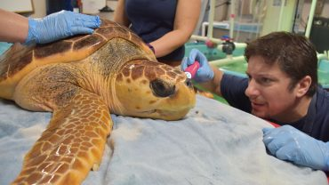 Shane Boylan examines a turtle at the South Carolina Aquarium.