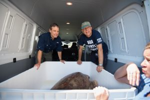 Greg Lewbart (left) and Craig Harms prepare to release a rehabbed sea turtle back into the Atlantic Ocean. Photo by Nathan Latil/NC State Veterinary Medicine