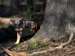 Throughout the year, CVM students and faculty work with critically endangered red wolves.