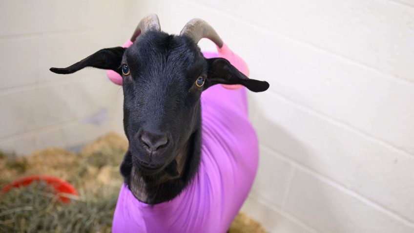 black goat with purple shirt and pink tennis balls on horns