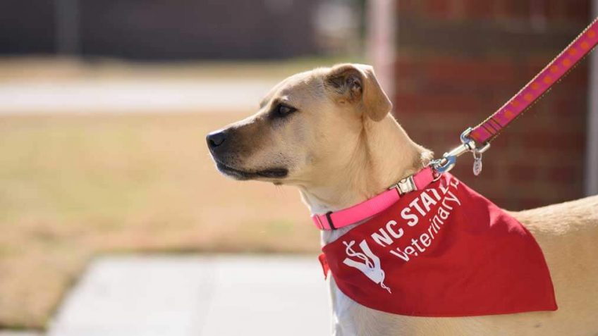 dog with an NC State bandana