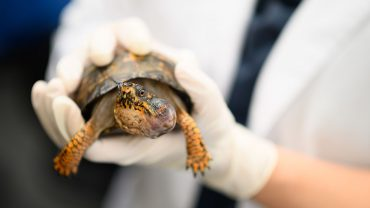 female box turtle with an aural abscess
