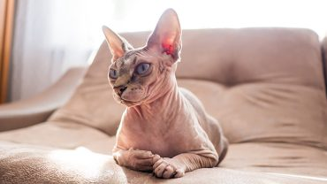 Portrait of a sphinx cat